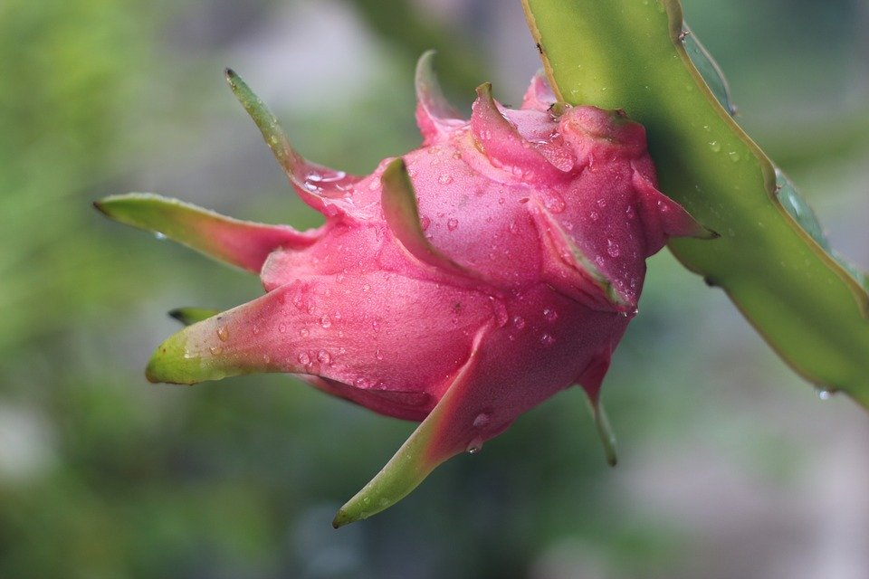 best dragon fruit pitaya supplier from indonesia